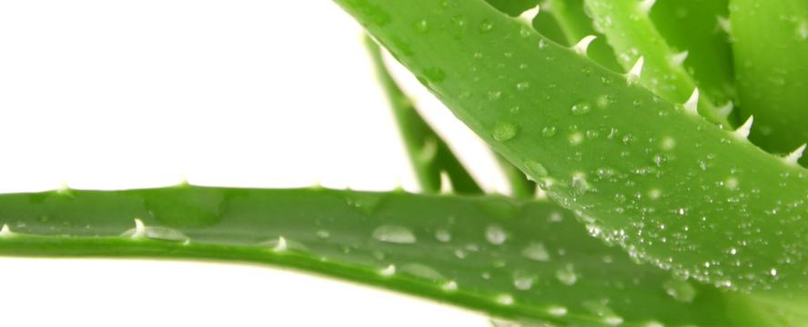 Aloe Vera health benefits + Juice recipe [Infographic] | ecogreenlove