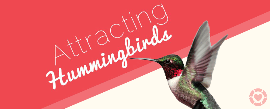 Attracting Hummingbirds [Infographic] | ecogreenlove