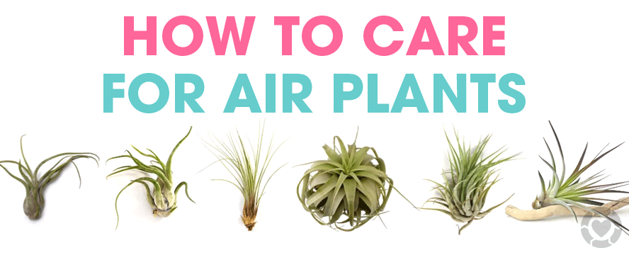 Air Plants Guide [Infographic] | ecogreenlove