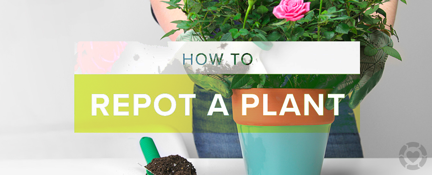 How to Repot a Plant [Infographic] | ecogreenlove