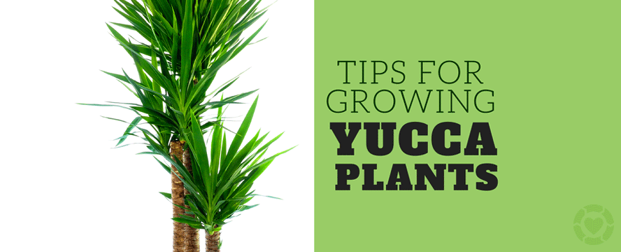 Growing Yucca Plants [Infographic] | ecogreenlove