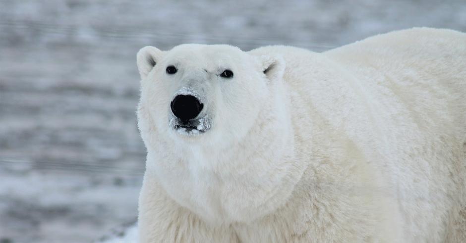 Environmental Dates: Polar Bear Day + FB profile pic frame ...