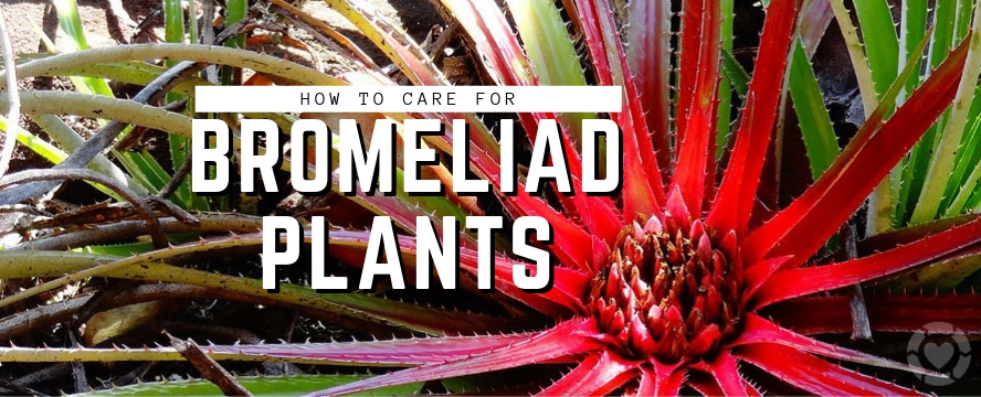 How to care for Bromeliad Plants