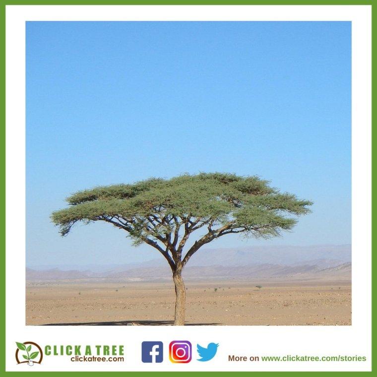 isolated tree clickatree