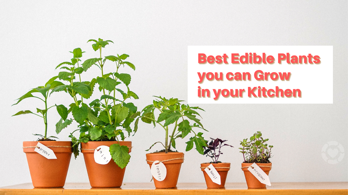 The Best Edible Plants you can Grow in your Kitchen