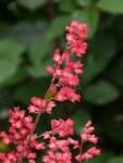 Coral bells • Ideas to Grow Flowers for Spring Containers | ecogreenlove
