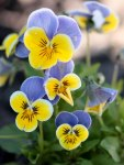 Pansies and Violas • Ideas to Grow Flowers for Spring Containers | ecogreenlove