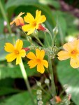 Primulas • Ideas to Grow Flowers for Spring Containers | ecogreenlove